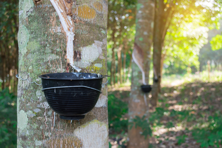 Rubber tree and bowl filled with latex in the garden. Stock Photo