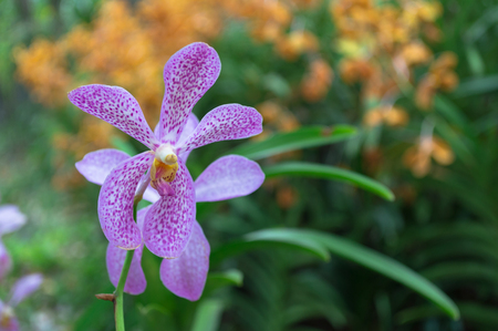 Orchid flower in pink in the garden Stock Photo