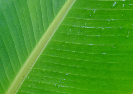 green lines: banana leaves Stock Photo