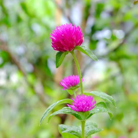 amaranth: Amaranth Flower Stock Photo