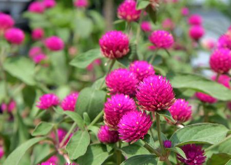 Amaranth Flower Stock Photo