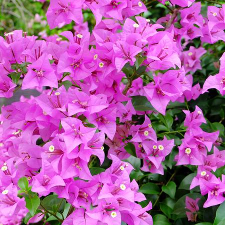 bougainvillea flowers: Pink Bougainvillea flowers