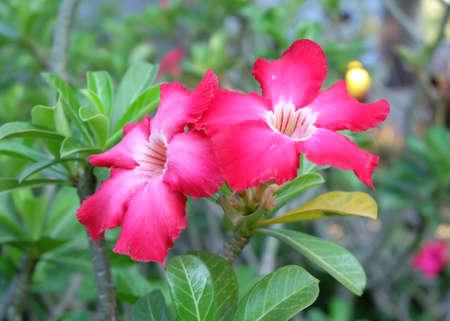 adenium: Red Desert Flower, adenium