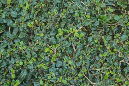 shrubbery: Shrub Fence around the house
