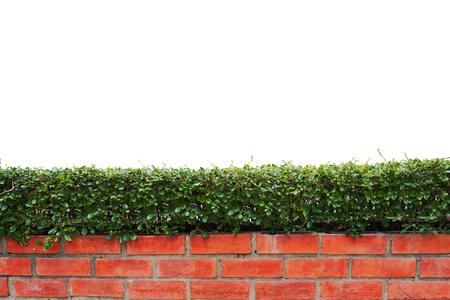 retouch: bush  isolated,bush and brick wall  isolated white background,bush  isolated for retouch