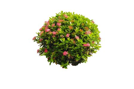 retouch: bush and flower isolated ,bush and pink flower isolated background,bush and pink flower isolated for retouch Stock Photo