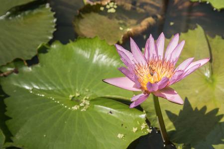 Lotus flower lotus flower and leaf in pondlotus flower in pond lotus flower lotus flower and leaf in pondlotus flower in pond stock photo mightylinksfo