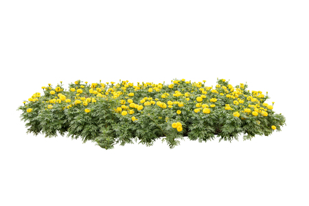 yellow flower bush tree isolated whited background Stock Photo
