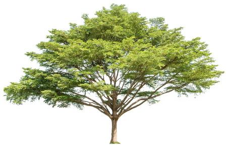 Gran árbol aislado fondo blanco