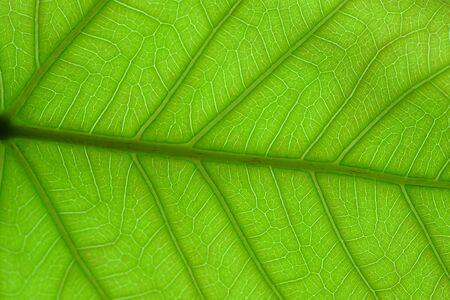 celulosa: fibras de hojas