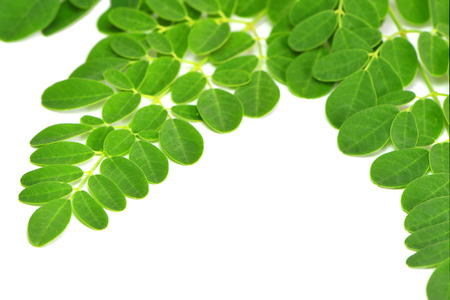 sajna: moringa leaves on white background