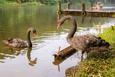 swans: black swans Stock Photo