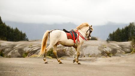 trakehner: horse