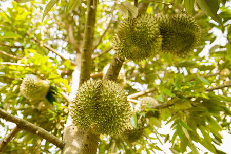 The durian fruit in a country of Thailand. That is a very sweet, very tasty, export more, and is popular with people, Thailand and overseas, durian, Durian.