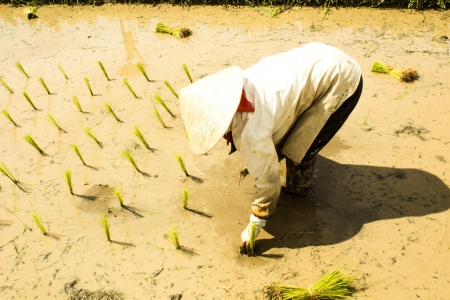 peasantry: rice seedling transplanting in rural Thailand Stock Photo