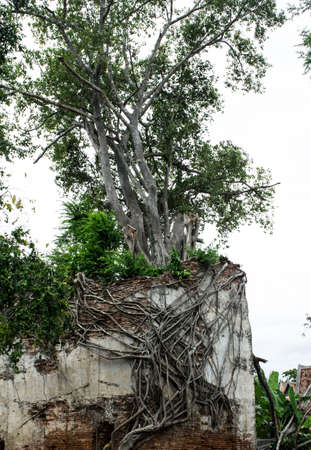 The  tree on old pagoda photo