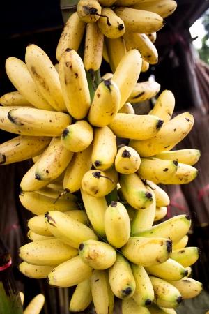 platano maduro: Pl�tano maduro de Kluay Khai o pl�tano Dainty, un tipo de banano en Tailandia