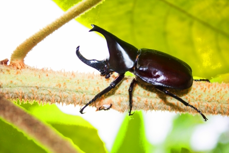 horned rhino beetle Eating molasses from the tree photo