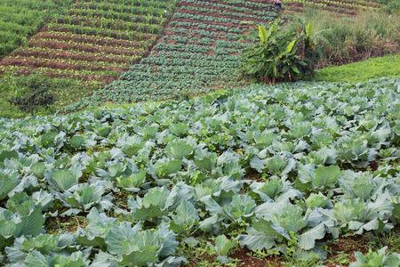 Vegetable plot on  mountain