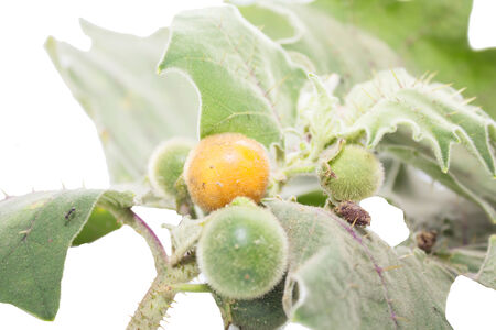ingradient: Solanum sanitwongsei, Herb for treatment cough and sore throat