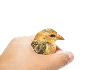 Bird  in human hand isolated on white  photo