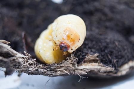 wigglers:  stag beetle larva isolate on  ground