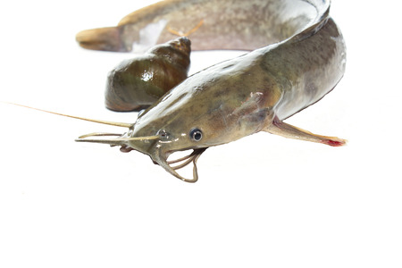 sheat fish: Single fresh catfish on white background