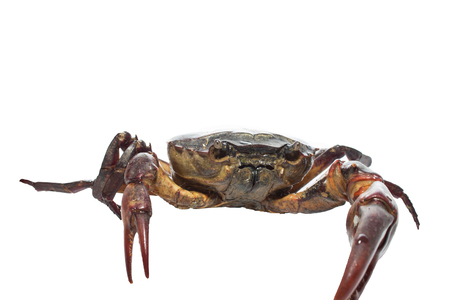 blue swimmer crab: crab isolated on white background
