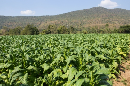 Tobacco farm in morning on mountainside photo