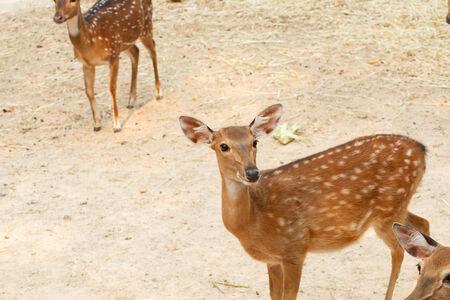 jousting: adult red deer
