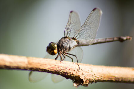 Dragonflies are perched on the branches photo