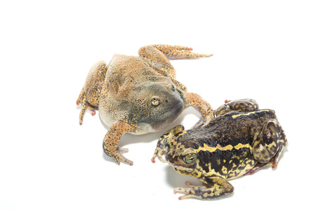 animal mating: Animal Mating isolate on white