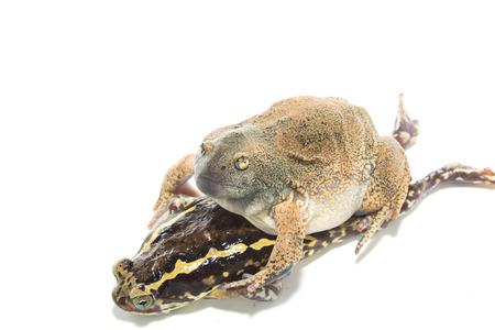 animal mating:  Animal Mating isolate on white Stock Photo
