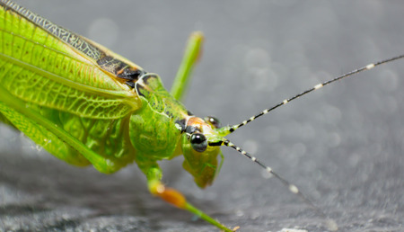 Grasshopper Green photo