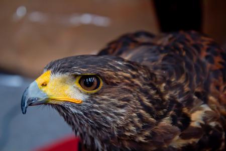 Hawk held on glove  photo