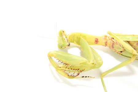 staging: Green mantis isolated on a white background