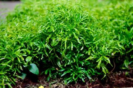 chlorophyll: Vegetables
