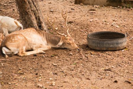 deer sleeping photo