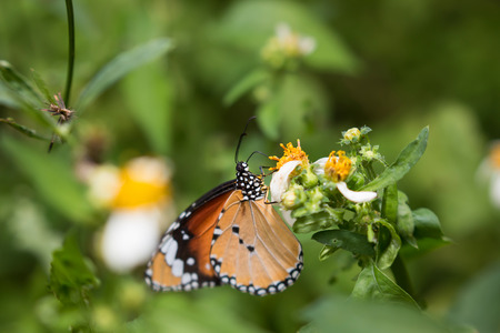 butterflies nectar: Colorful butterflies feeding on nectar from flowers. Stock Photo