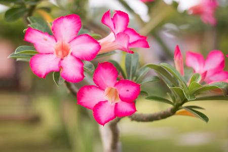 obesum: Adenium obesum (Desert Rose)