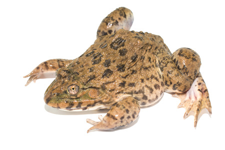 frog isolated on white background Banque d'images