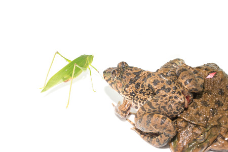 webfoot: Frogs are hunting grasshoppers Stock Photo