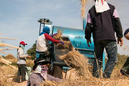threshing: farmers threshing rice