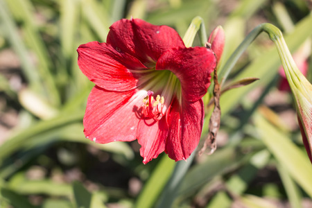 season specific: red lily Stock Photo