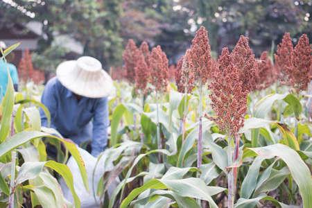 sorgo: Agr�cola sorgo cosecha
