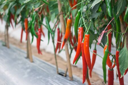 red peppers: Red peppers in the garden