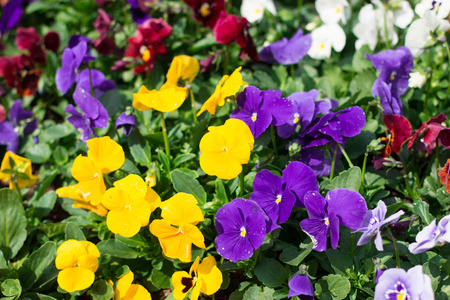 beautiful Purple and yellow flowers in the garden photo