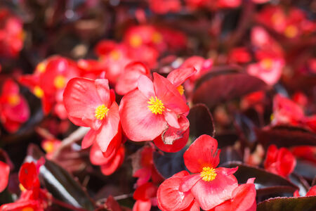 beautiful Red Flowers in garden photo