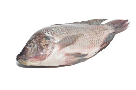 nilotica: fresh tilapia fishes isolate on white