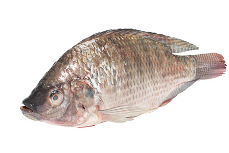 oreochromis: fresh tilapia fishes isolate on white